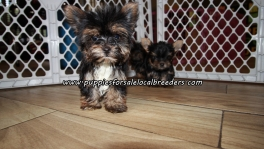 Adorable Yorkie Puppies For Sale Georgia
