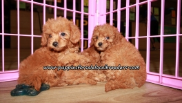 Adorable Cavapoo Puppies For Sale Georgia