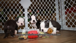 Beautiful Boston Terrier Puppies for sale Atlanta Ga