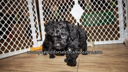 Beautiful Cavapoo Puppies for sale Atlanta Ga