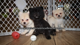 Beautiful Pomeranian Puppies for sale Atlanta Ga