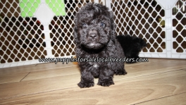 Beautiful Poodle Puppies for sale Atlanta Ga