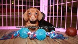 Pretty Mini Dachshund Puppies for sale Atlanta Ga
