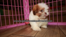 Pretty Shih Tzu Puppies for sale Atlanta Ga