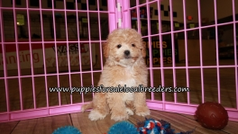 Pretty Maltipoo Puppies for sale Atlanta Ga