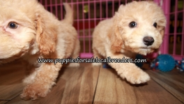 Pretty Bichonpoo Puppies for sale Atlanta Ga