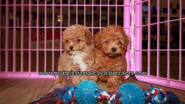 Pretty Poodle Puppies for sale Atlanta Ga