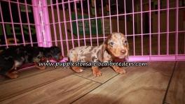 Adorable Mini Dachshund Puppies for sale Ga Atlanta