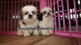 Adorable Shih Tzu Puppies for sale Atlanta Ga