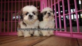 Adorable Shih Tzu Puppies for sale Atlanta Ga