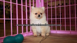 Adorable Pomeranian Puppies for sale Atlanta Ga