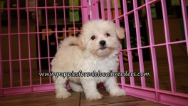 Adorable Maltipoo Puppies for sale Atlanta Ga