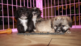 Adorable Shih Poo Puppies for sale Atlanta Ga