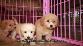 Adorable Bichon Poo Puppies for sale Atlanta Ga
