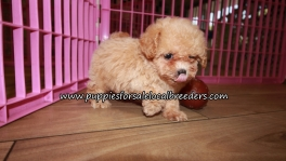 Adorable Poodle Puppies for sale Atlanta Ga