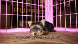 Adorable Yorkie Puppies for sale Atlanta Ga