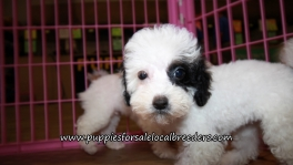 Pretty Maltipoo Puppies for sale Atlanta Georgia