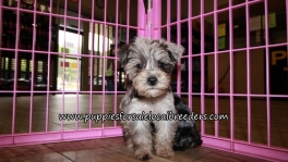 Pretty Schnoodle Puppies for sale Atlanta Georgia