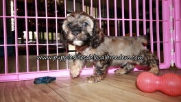 Pretty Cockapoo Puppies for sale Atlanta Georgia