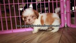 Pretty Shih Tzu Puppies for sale Atlanta Georgia