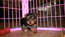 Pretty Yorkiepoo Puppies for sale Atlanta Georgia
