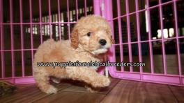 Pretty Poodle Puppies for sale Atlanta Georgia