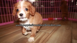 Pretty Cavapoo Puppies for sale Atlanta Georgia
