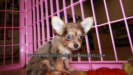 Chihuahua Puppies for sale Atlanta Georgia