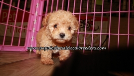 Maltipoo Puppies for sale Atlanta Georgia