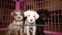 Schnoodle Puppies for sale Atlanta Georgia