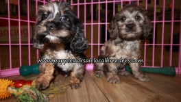 Cockapoo Puppies for sale Atlanta Georgia
