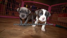 Bully Puppies for sale Atlanta Georgia