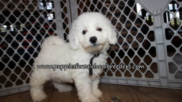 Bichon Poo Puppies for sale Atlanta Georgia