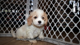 Cavachon Puppies for sale Atlanta Georgia