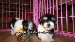 Morkie Puppies for sale Atlanta Georgia