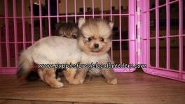 Pomeranian Puppies for sale Atlanta Georgia