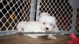 Maltese Puppies for sale Atlanta Georgia