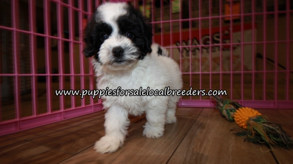 Very Cute Bichonpoo Puppies for sale Atlanta Georgia
