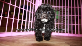 Very Cute Poodle Puppies for sale Atlanta Georgia