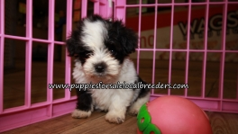 Very Cute Morkie Puppies for sale Atlanta Georgia