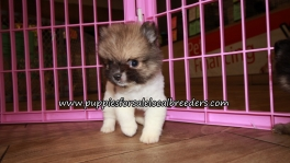 Very Cute Pomeranian Puppies for sale Atlanta Georgia