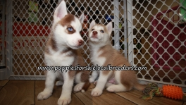Siberian Husky Puppies for sale Atlanta Georgia