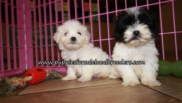 Cute Malti Tzu Puppies for sale Atlanta Georgia