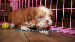 Cute Shih Tzu Puppies for sale Atlanta Georgia
