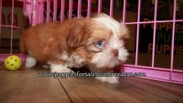 Cute Shih Tzu Puppies for sale Atlanta Georgia