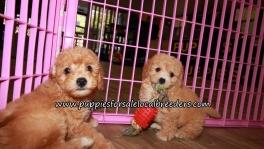 Cute Bichon Poo Puppies for sale Atlanta Georgia