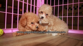 Adorable Maltipoo Puppies for sale Atlanta Georgia
