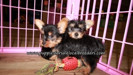 Adorable Yorkie Puppies for sale Atlanta Georgia