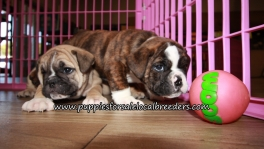 Adorable English Bulldog Puppies for sale Atlanta Georgia