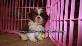 Perfect Shih Tzu Puppies for sale Atlanta Georgia
